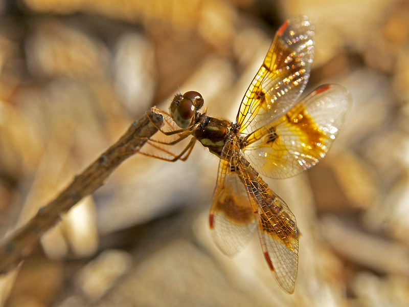 Dragonflies are becoming increasingly common visitors to the garden, perhaps attracted by all the potential insect prey.