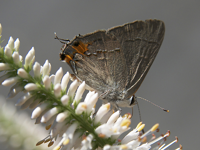 A gray hairstreak butterfly visits a native Culver's root.