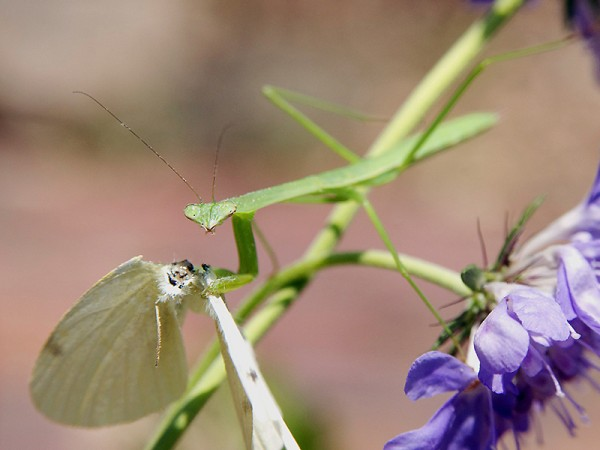 The praying mantis also help control the cabbage worm population, by dining on the adult butterflies.