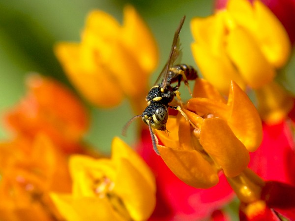 The butterflyweed is a magnet for native pollinators, such as this small bee.