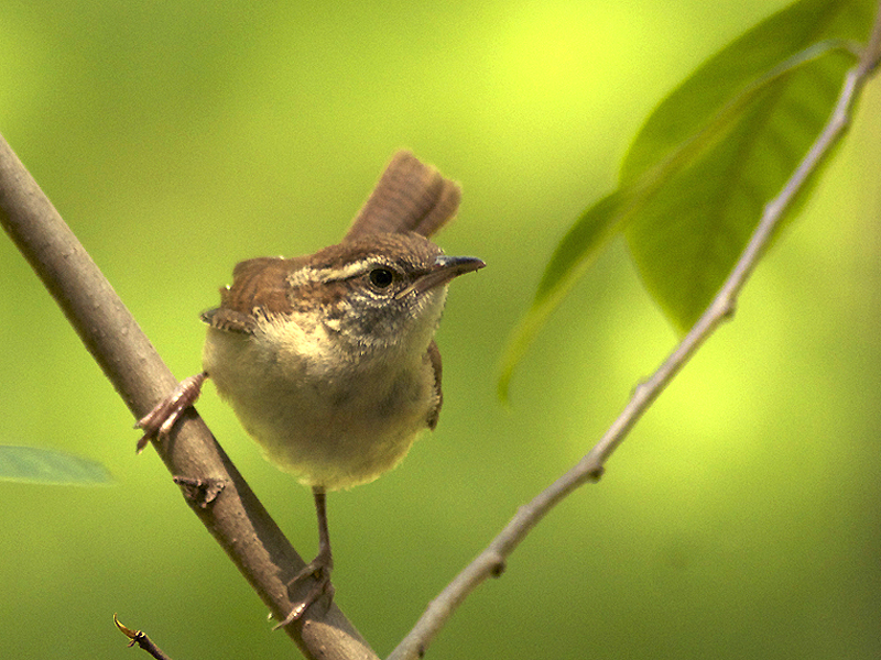 Carolina wrens are frequent visitors to the garden, where they forage for all manner of insects.