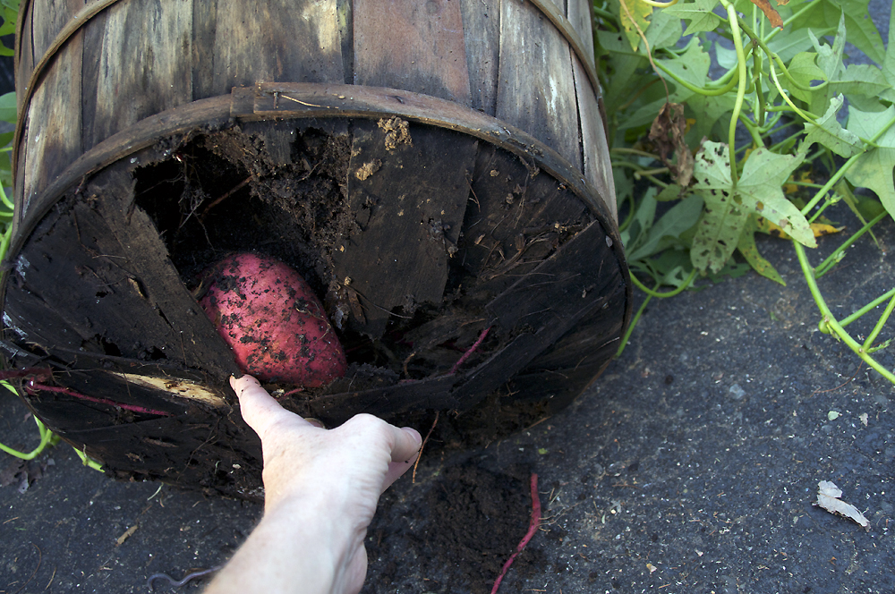 Sweet potatoes, busting out the bottom of their bushel basket