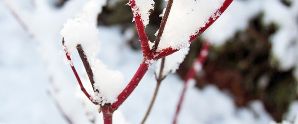 redtwig-in-snow
