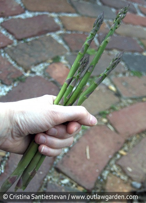 I harvested my first tiny handful of homegrown asparagus last week. The plants are just two years old, so the harvest will only last another week or so. And, the taste? Divine! Can't wait for a bigger harvest next year!