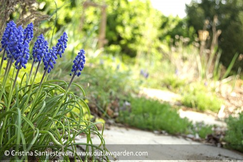 The grape hyacinth is putting on a great show in the garden this year. This clump is growing along the side path, which heads over to the Santa Rosa plum tree.