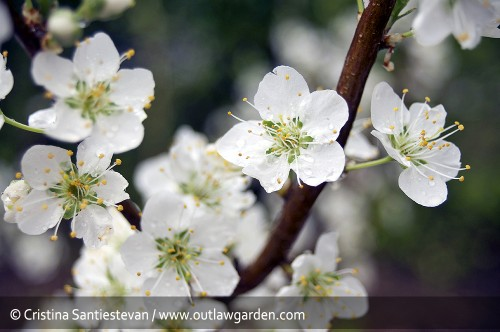 The Santa Rosa plum tree is already done blooming. I snapped this photo on March 15.