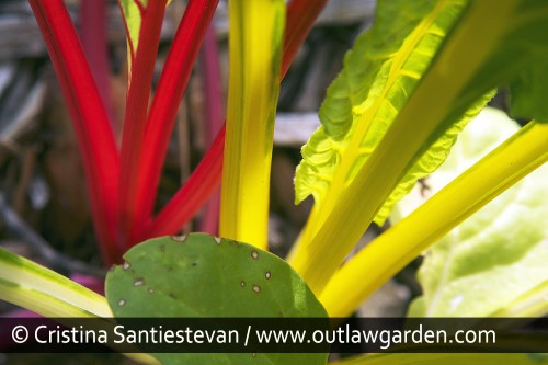 Here's a plant that lives up to its name. 'Bright Lights' chard comes in a rainbow array of colors — yellow, orange, red, white and pink — and brightens up any spot where it grows. The leaves can be harvested when very small for salads. Or, let the plants grow large (and beautiful), and then harvest the whole thing for delicious sautéed greens.