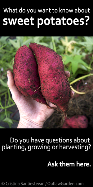 What do you want to know about sweet potatoes