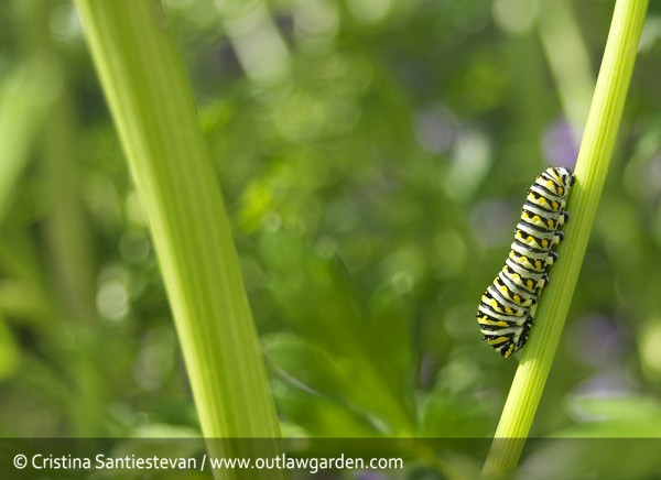 black swallowtail caterpillar on a parsley plant
