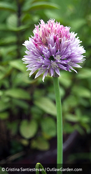 chive flowers are a lovely addition for edible and ornamental gardens