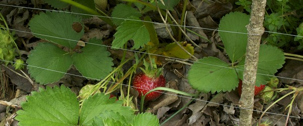 Will fishing line be enough to keep the catbirds out of the strawberry patch?
