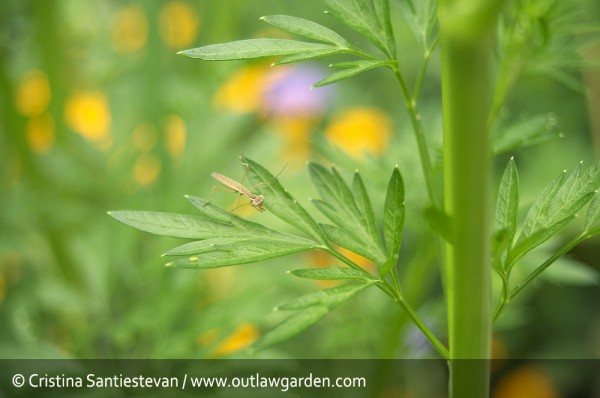 Baby praying mantis on a parsley plant.