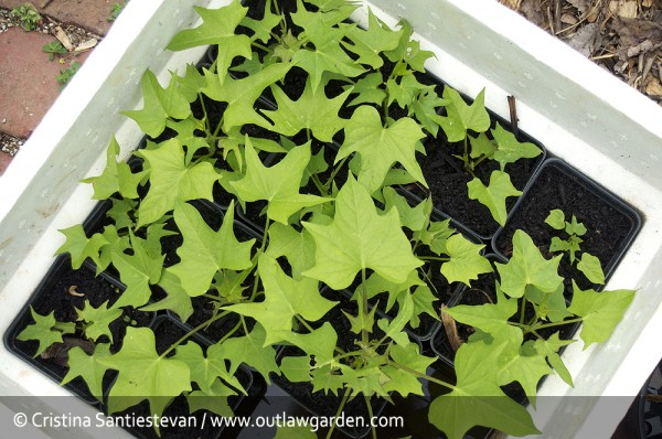 sweet potato seedlings, nearly ready to be planted