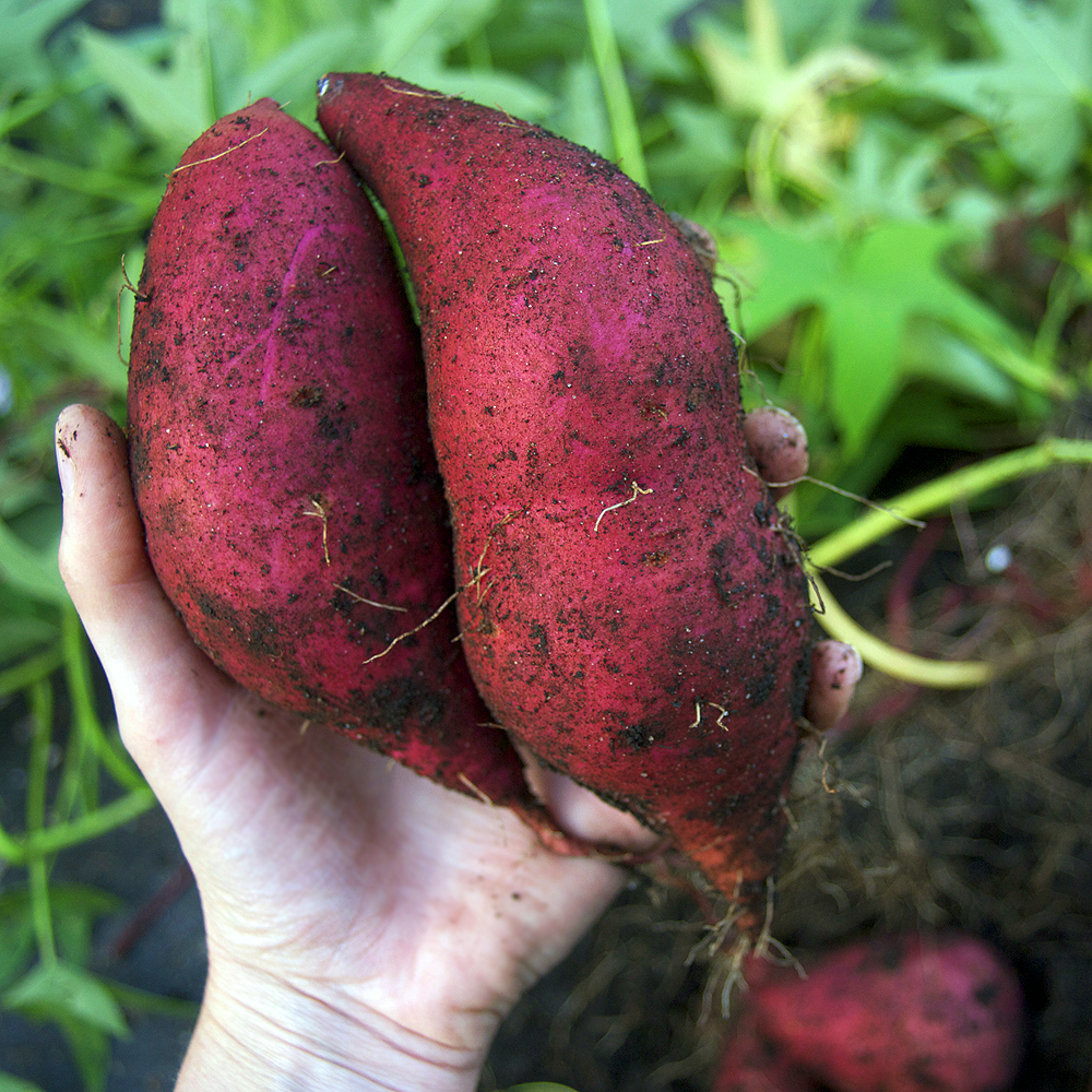 Your sweet potato questions: Answered!