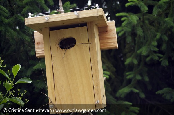house wrens, nesting in a bluebird box