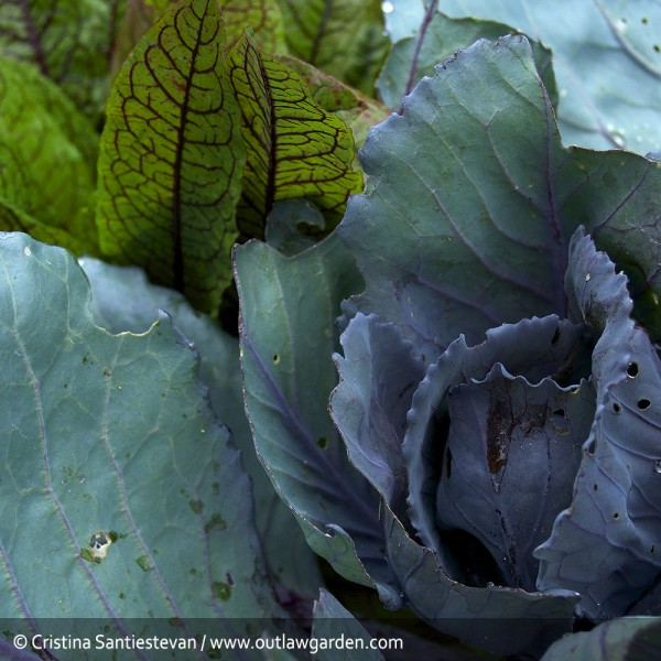 red cabbage and bloody dock in the vegetable garden