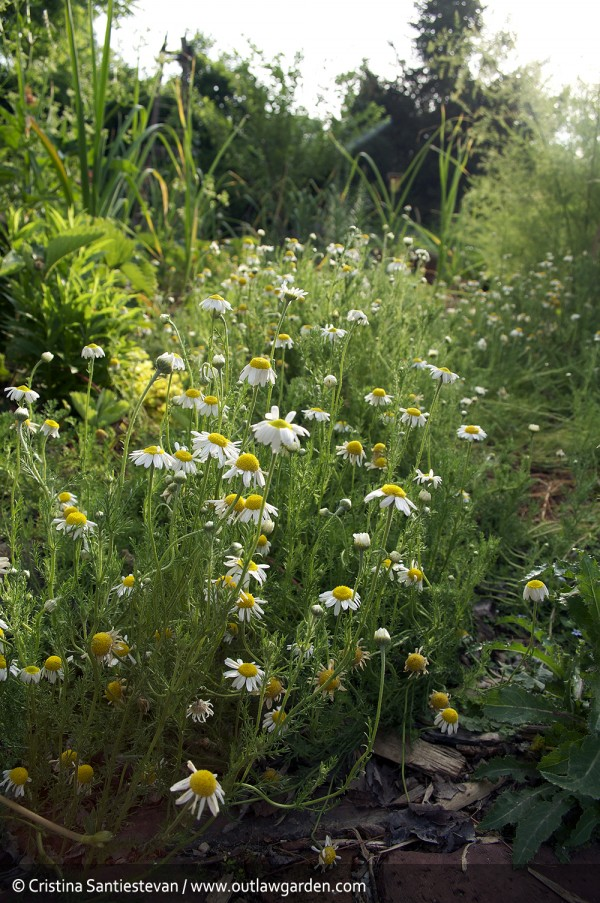 chamomile in bloom