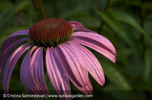 cone flower in morning sunlight
