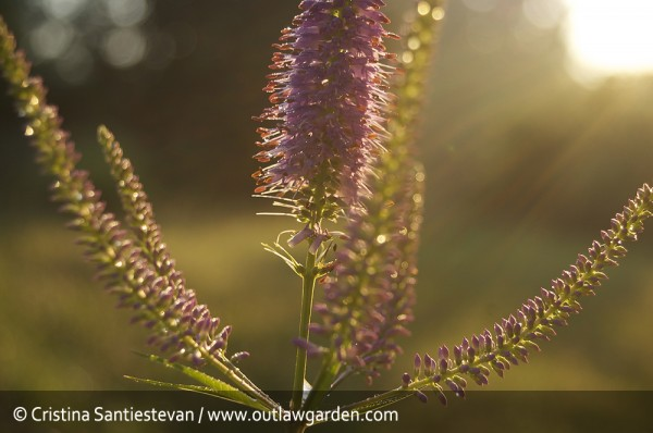 Culver's root in dawn light