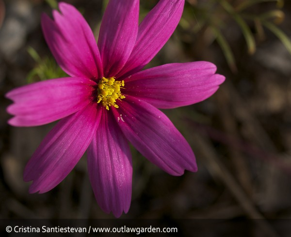 pink cosmo bloom