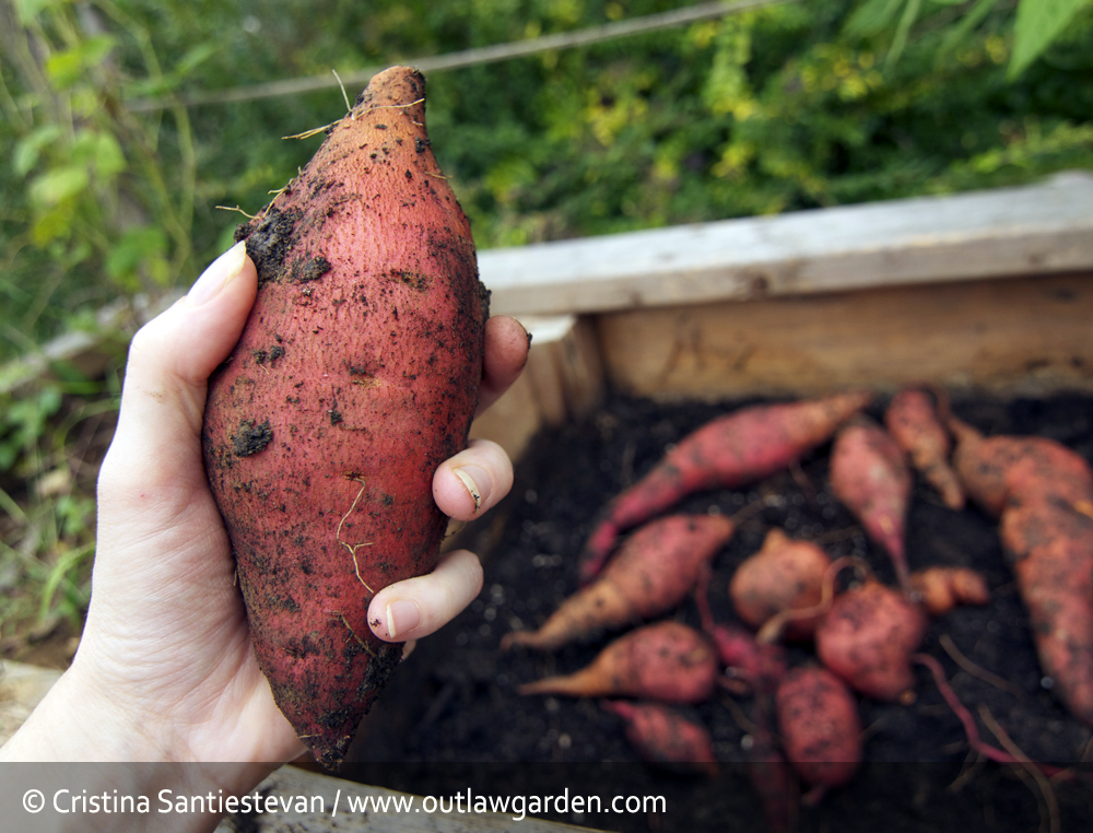 It's time to harvest sweet potatoes!!