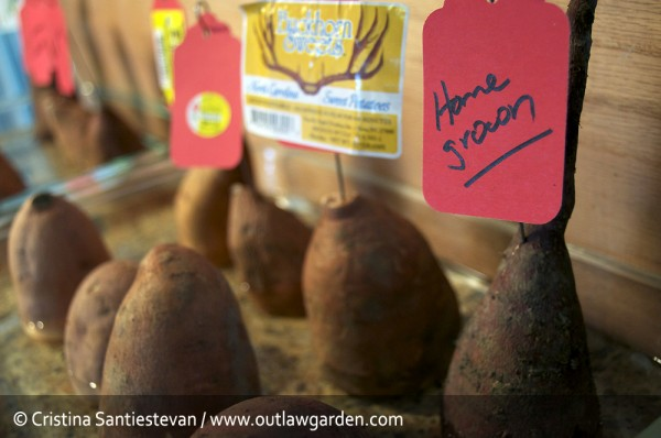 sprouting sweet potatoes