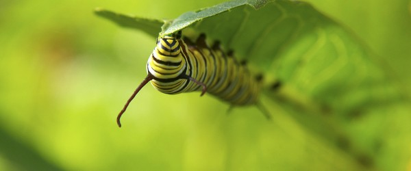 large monarch caterpillar