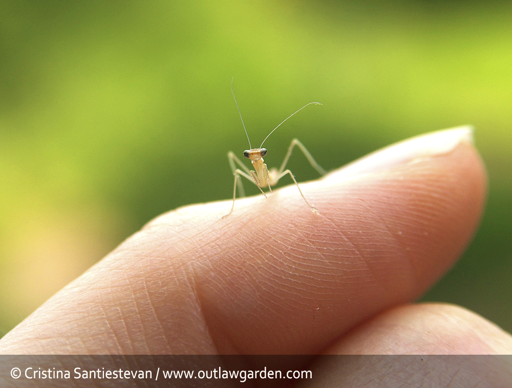 Baby praying mantis invasion!