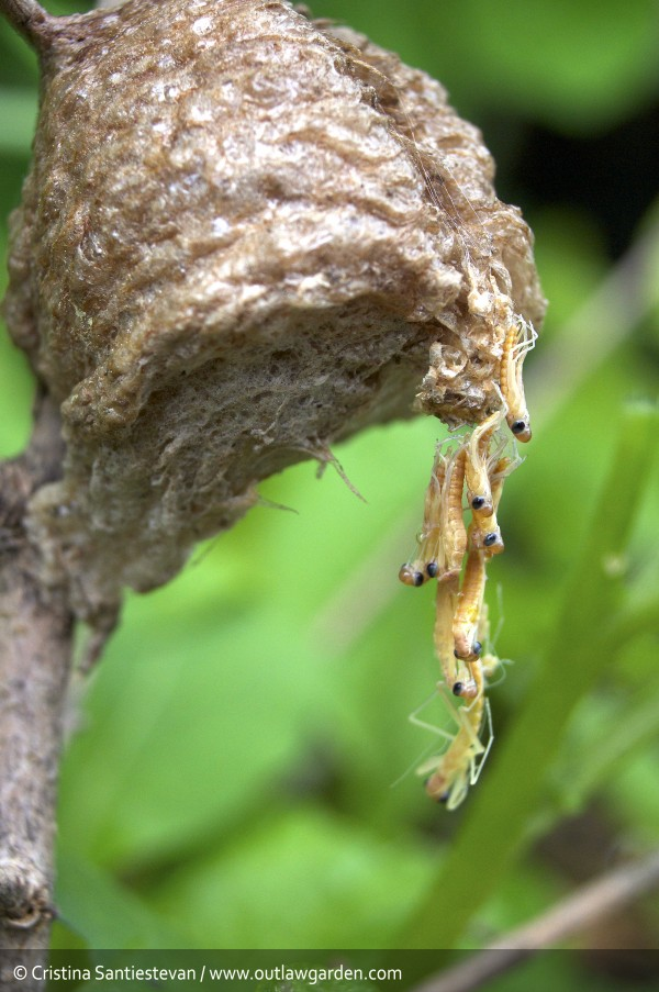 praying mantids hatching in the garden