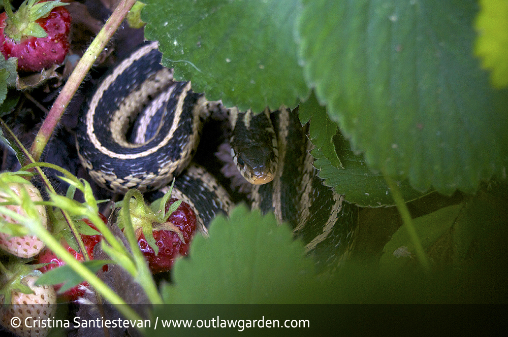 Lessons from the strawberry patch - Outlaw Garden