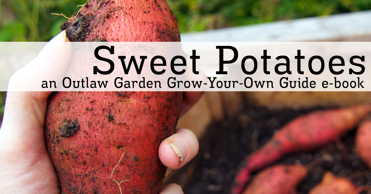 Sweet Potatoes: An Outlaw Garden Grow-Your-Own Guide