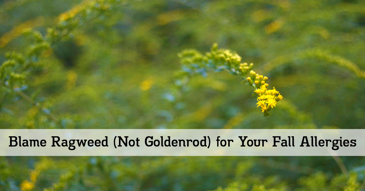 blame ragweed not goldenrod for your fall allergies outlaw garden. Black Bedroom Furniture Sets. Home Design Ideas