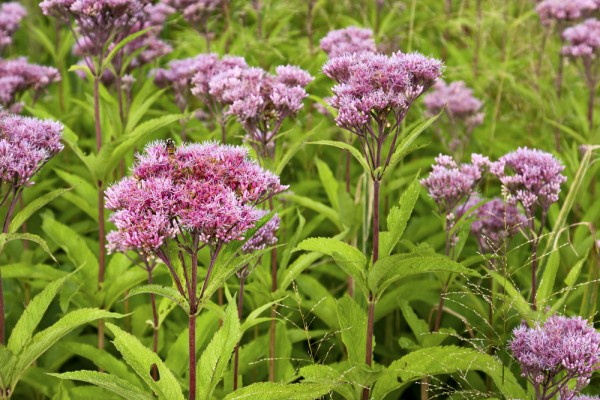 Five fall blooming plants for the front yard vegetable for Joe pye weed