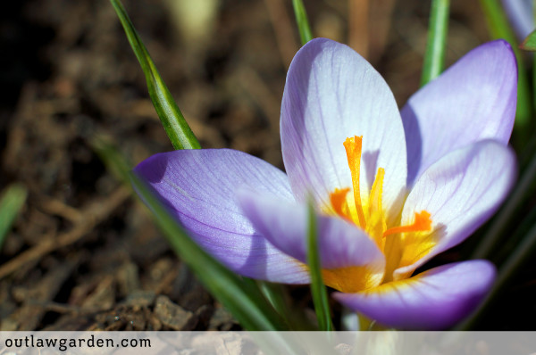 10-days-crocus